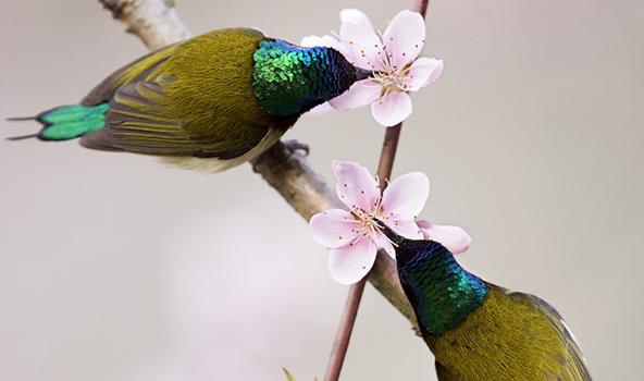 台州迎来祥瑞鸟——迷你太阳鸟!桃花十里香雪海