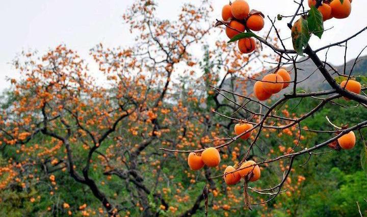 这个秋天,去天台这三处地方赏柿去~